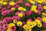 'OSTEOSPERMUM SUNSCAPE DAISY CRESCENDO YELLOW' AND 'CRESCENDO LIGHT PURPLE', AFRICAN DAISY