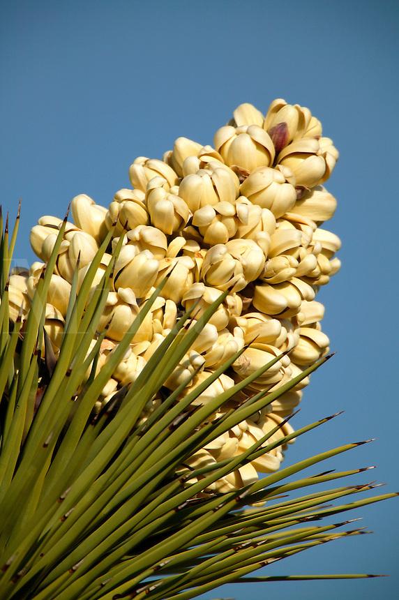 Joshue Tree in bloom. (Yucca brevifolia).  Mojave Desert, Pioneertown, California.