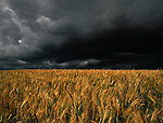 Wheat nearing harvest is lit in the front by the sun while a massive black thundercloud on the horizon looms nearby.  Thunder rolls in the distance.