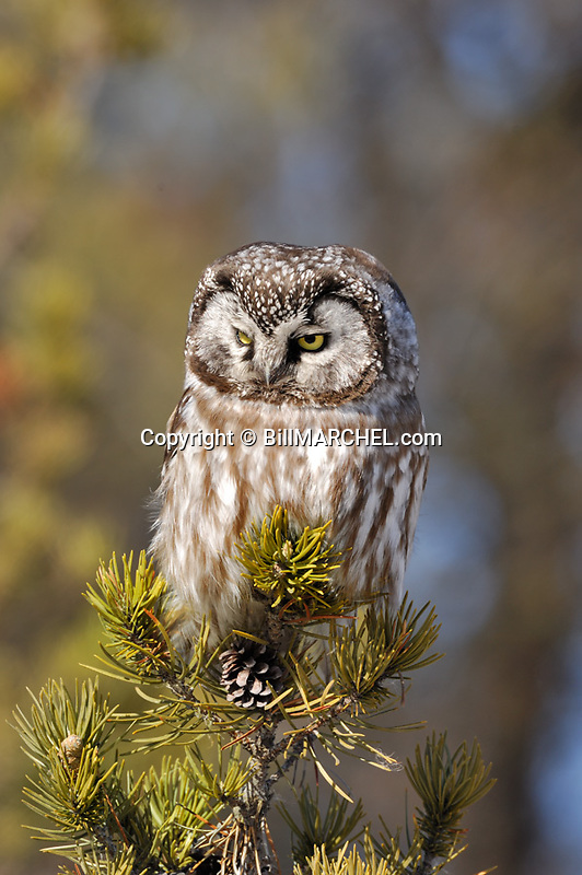 00841-010.18 Boreal Owl Aegolius funereus (DIGITAL) is hunting from a jack pine perch.  Predator, raptor, bird of prey, birding.  V4F1
