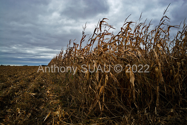 Tampico, Illinois<br /> October 18, 2014<br /> <br /> Harvesting corn on the USDA certified organic Shrock family farm. As an Amish family Victor Shrock and his sons Derek and Kendall farm 1,500 acres. They average 200 to 220 bushels an acres of certified organic feed corn as well as certified organic egg production which houses 15,000 chickens. They also raise grass feed beef that is not certified organic.