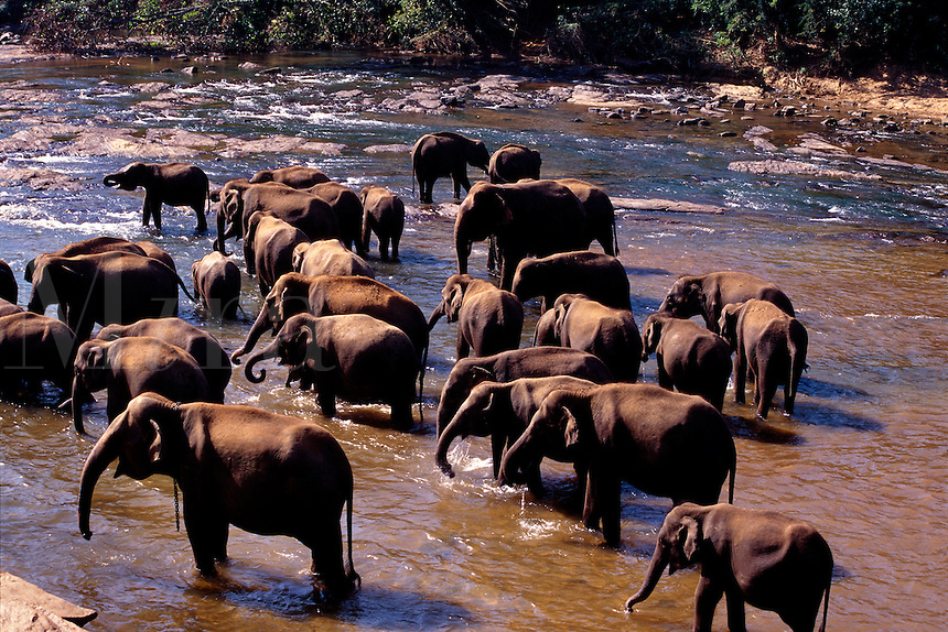 Elephants in river elephant orphanage Pinnawela Sri Lanka