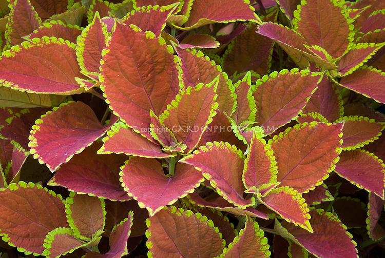 Solenostemon Coleus 'Trusty Rusty', reddish annual foliage plant with yellow picotee leaf edges. RHS Award of Garden Merit AGM. aka 'Ufo6419'