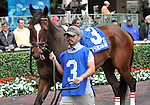 30 January 2009: Capt. Candyman Can walks in the paddock before winning the 53rd running of the Grade 2 Hutcheson Stakes for three-year-olds at Gulfstream Park in Hallandale, Florida.