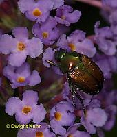 1C13-502z  Japanese Beetles eating flowers, Popilla japonica