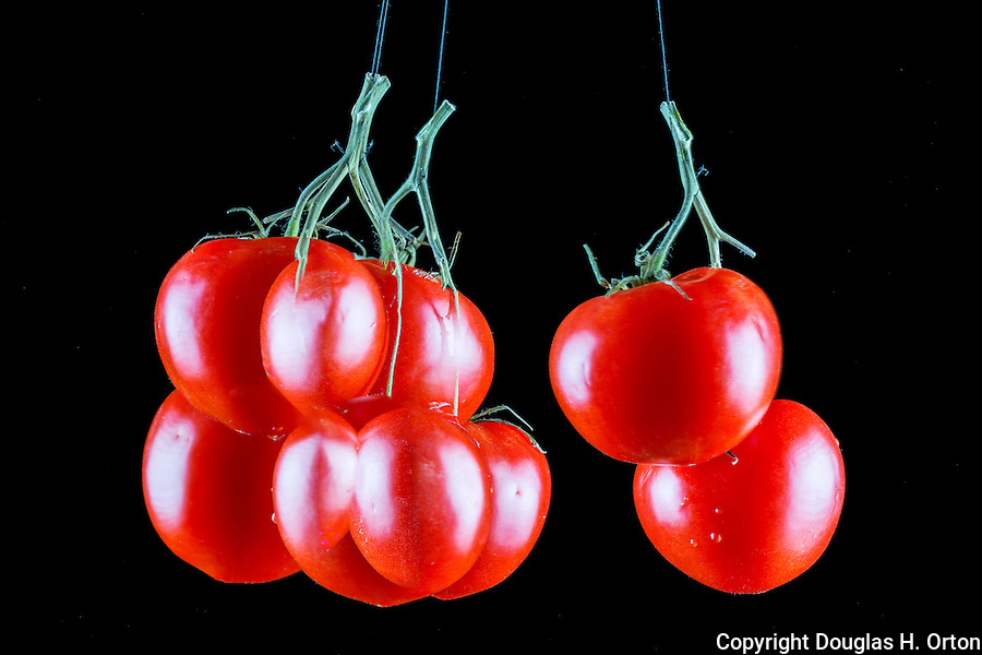 Multiple exposure image of tomatoes on the vine with black background.