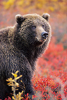 Female grizzly bear in autumn blueberry patch in Denali National Park, Alaska.