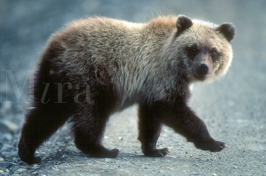 A year-old brown bear cub crosses the Denali National Park road in central Alaska.