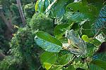 Wallace's Flying Frog (Rhacophorus nigropalmatus) in rainforest canopy. Danum Valley, Sabah, Borneo.