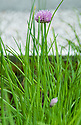 Chinese chives, early July.