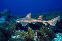 Mexican hornshark, Heterodontus mexicanus, Baja California, Mexico, Gulf of California, or Sea of Cortez, Pacific Ocean