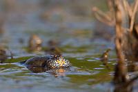 Rotbauchunke, Rotbauch-Unke, Rotbauch - Unke, Tieflandunke, Tiefland-Unke, Bombina bombina, rufend im Frühjahr in einem Tümpel, Schallblase, fire-bellied toad