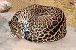 jaguar curled up on large boulder looking left