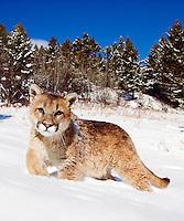 Young mountain lion (Felis concolor) exploring forest margins in fresh snow, makes eye contact