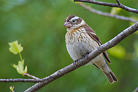 Female Rose-breasted Grosbeak (Pheucticus ludovicianus).  Great Lakes Region, May.