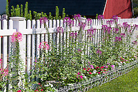 White picket fence garden border with annual flowers, Cleome hassleriana (Spider Flower) with impatiens, lawn grass, red barn shed house