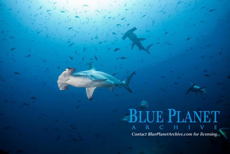 Scalloped hammerhead shark (Sphyrna lewini), Cocos Iceland, Costa Rica, Central America
