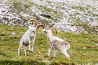 Two Dall sheep rams crash horns as part of a dominance display on a mountain ridge in Denali National Park, Interior, Alaska.
