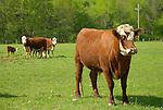 Seeling Farm. Hereford cows
