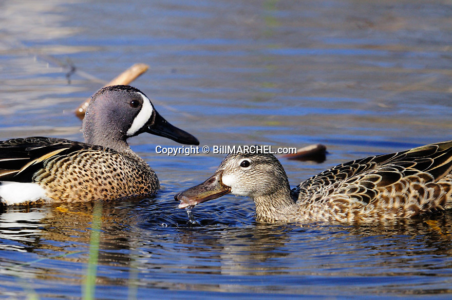 00315-068.03 Blue-winged Teal drake and hen are feeding in marsh typical of species.  Hunt, waterfowl, wetland.