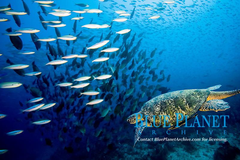 green sea turtle, Chelonia mydas swimming through school of fusiliers, Komodo national park, Indonesia