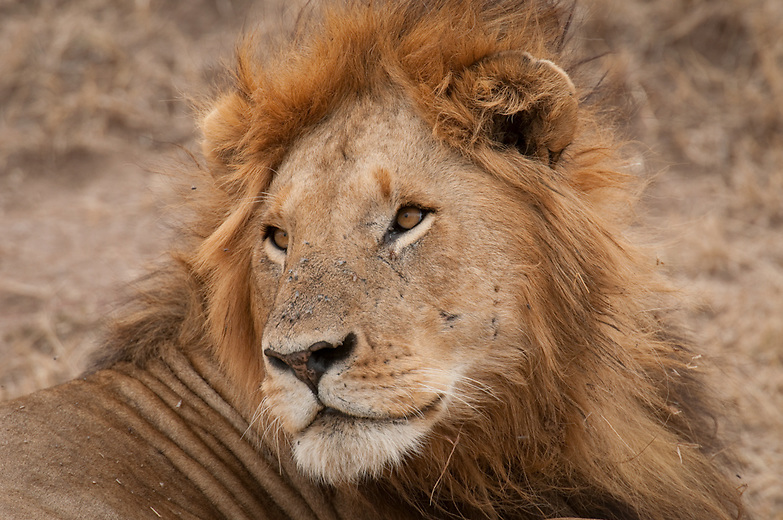 The presence, absence, color, and size of the maine is associated with genetic precondition, sexual maturity, climate, and testosterone production of the lion; the rule of thumb is the darker and fuller the maine, the healthier the lion. The light color of this lion's maine and scaring on its face indicate it may not be in the healthiest of states. Maneless male lions have been reported in Tsavo National Park in Kenya.