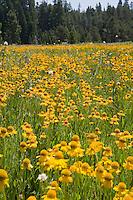 Bigelow's Sneezeweed (Helenium bigelovii) yellow flower summer wildflower field at Big Meadows, El Dorado National Forest, California
