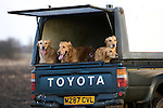 Pix: Shaun Flannery/sf-pictures.com..COPYRIGHT PICTURE>>SHAUN FLANNERY>01302-570814>>07778315553>>..19th December 2008...............Loversall 'game shoot' in Doncaster, South Yorkshire..Golden retrievers wait patiently