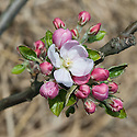 Blossom of Apple 'Adams's Pearmain', late April. An old-fashioned, English dessert apple, one of the most popular varieties in Victorian England, probably originating from Norfolk in the early 19th century. It has a distinctive conical or  'pearmain' shape.