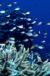 Milne Bay, Papua New Guinea; Yellow-axil Chromis (Chromis xanthochira), to 14 cm (5 ½ in.), solitary or form groups, live in outer reef slopes in 10-48 meters, found in Indonesia and Philippines to Solomon Islands and Great Barrier Reef , Copyright © Matthew Meier, matthewmeierphoto.com