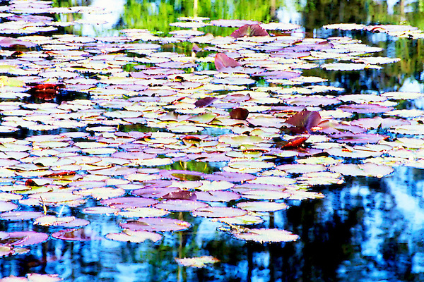 Thoughts of Monet, Lilly Pad Afternoon, Robinswood Park, Bellevue, Washington