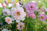 Cosmos bipinnatus 'Double Click Bicolour Rose'