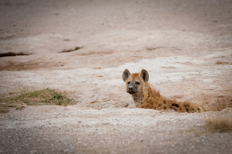 Contrary to popular belief, hyenas are not scavengers but are actually powerful hunting animals. Prey includes zebras, antelope, buffalo, wildebeest, gazelle and carrion and they will also scavenge. A lone spotted hyena can bring down prey up to three times its own weight. They are are able to crack any bone with their powerful  jaws.  They live in family groups known as clans where the female is bigger and dominant over the male.