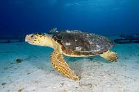 Female Loggerhead sea turtle, Caretta caretta, with barnacles on shell, Bahamas, Caribbean, Atlantic