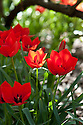 Tulipa linifolia (Batalinii Group) 'Red Hunter', mid April.