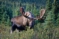 Large Alaskan Bull Moose (Alces alces) feeding on bushes.  He is just starting to shed velvet.  Alaska.  Sept.
