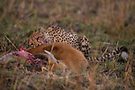 Cheetah (Acinonyx jubatus) three year old male feeding on male Puku (Kobus vardonii) kill, Kafue National Park, Zambia
