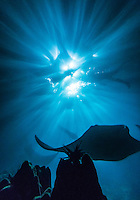 Manta rays swim under a woman in waters off the Big Island of Hawai'i.