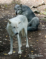 0823-1012  Pair of Wolves, Gray Wolf (Grey Wolf) with White Colored Coat, Canis lupus  © David Kuhn/Dwight Kuhn Photography