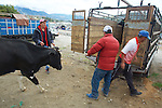 Cow Being Moved, Otovalo Market