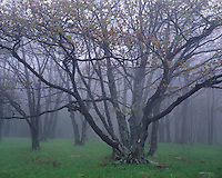 Morning fog in a forest of oak trees; Dolly Sods Recreation Area; Monongahela National Forest, WV