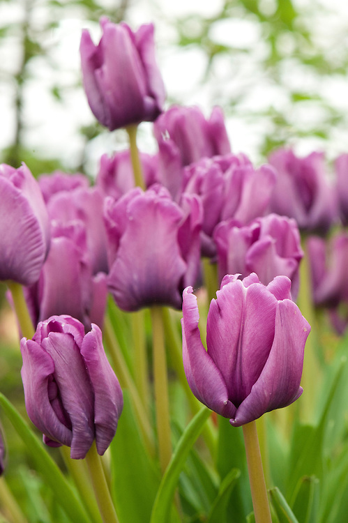 Tulip 'Blue Parrot' (Parrot Group), mid May. A sport of T. 'Bleu Aimable', raised in 1935 by Jan Dix Jnr.