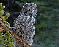 Great Grey Owl (Strix nebulosa) adults have a big, rounded head with a gray face and yellow eyes with darker circles around them. The underparts are light with dark streaks; the upper parts are gray with pale bars. This owl does not have ear tufts and has the largest facial disc of any raptor. Canyon area, Yellowstone.