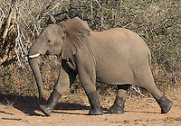 """An elephant leaves a watering hole with wet """"boots."""""""