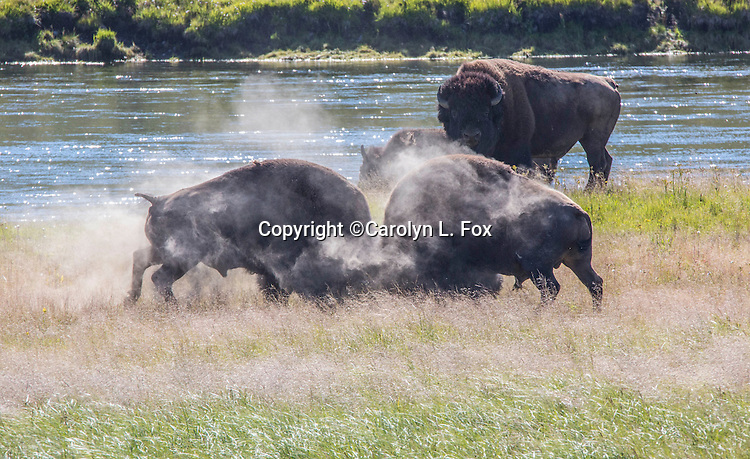 The bison rut starts in July in Yellowstone National Park.
