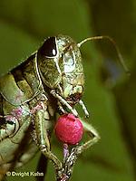 GF09-003b  Funny Grasshopper - eating lollipop