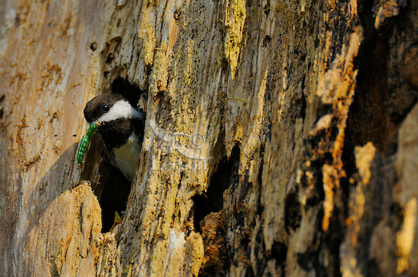 Chestnut-backed Chickadee (Poecile rufescens) bringing green caterpillar/worm to nest in old snag in old growth forest in Olympic National Park rain forest, WA.  June.