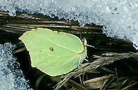 Zitronenfalter, Zitronen-Falter, Überwinterung als Imago in Eis und Schnee, Gonepteryx rhamni, brimstone, brimstone butterfly, overwinter survival, hibernation