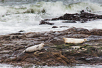 Two adult Harbor seals rest on the rocky outcrops at Bean Hollow State Beach.