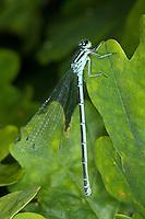 Hufeisen-Azurjungfer, Hufeisenazurjungfer, Azurjungfer, Weibchen, Coenagrion puella, Azure Damselfly